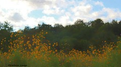 Everything's moving here but much too slowly (Kathryn Louise18) Tags: sunflowers landscape canon florida helianthusangustifolius photograph painting watercolor lakejesup sanford nature manipulation