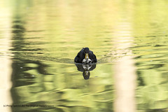 Late summer Duck (The Original Happy Snapper) Tags: bird duck ripples water reflections refelection animal swim swimming canon7dmkii colours dof depthoffield image green nature art portrait lake pattern