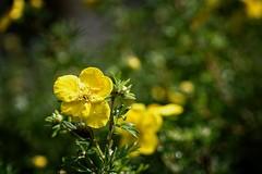 *** (pszcz9) Tags: polska poland przyroda nature natura kwiat flower zblienie closeup bokeh beautifulearth sony a77