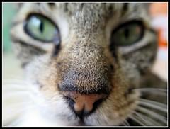 Naricita de Morris (MaPeV) Tags: morris bellolindoguapetn gatos cats chats kawaii felin neko gatti gattini gattoni tabby chat katze gato kitty tabbyspoted powershot canon g16