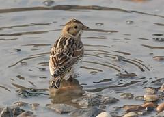 Lapland Bunting - Calcarius lapponicus (Gary Faulkner's wildlife photography) Tags: laplandbunting kentbirds
