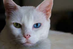 Jasmine (suzeesusie) Tags: cat white eyes portrait animal katze gato furry oddeyed pretty rescue adopted love whiskers