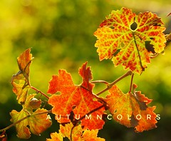 Autumn colors (Mi-Fo-to) Tags: foglie leaf vite sole sun grapes autumn autunno golden light luce calda italia italy still life natura morta mifoto