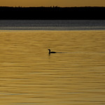 Loon at Sunset, Waskesiu Lake, Prince Albert National Park thumbnail