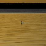 Loon at Sunset, Waskesiu Lake, Prince Albert National Park thumbnail