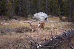 (kendall.plant) Tags: yosemite california travel adventure mountains nature light vsco fade lightroom outdoors wildlife animals deer doe fawn
