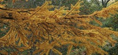 Golden Larch Tree (Harry Lipson) Tags: larch goldenlarch tree branch yellow gold orange needles autumn fall foliage fallfoliage harrylipson harrylipsoniii