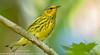 Cape May Warbler (sjsimmons68) Tags: orangeco bird animals capemaywarbler favorites meadgardens fav fllocations warblers