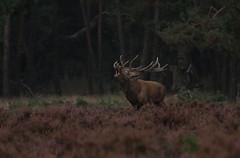 Burling ..veluwe (jopieborst) Tags: veluwe wildlife reddeer edelhert canon70d canon100400