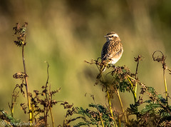 Whinchat on bracken in the afternoon sunlight. (steve.gombocz) Tags: out birds outandabout colour colours color nature naturewatch naturereserve naturephotos naturephotographs naturephotography naturepictures wildlife wildlifewatch wildlifereserve wildlifephotos wildlifephotographs wildlifephotography wildlifepictures summerwatch bbcsummerwatch tier animale flickrwildlife flickrnature wildbritain britishwildlife wildlifeuk rspb rspbgeltsdale geltsdale rspbreserves nikon nikond810 nikonusers nikoncamerausers nikondslrcamerausers nikondslruk nikoneurope nikon300mmf28lens nikon300mmf28 whinchat bokeh ukbird naturewildlife uknatureandwildlife flickrbirds birdphotos birdpictures birdsightings explorebirds explorenature explorewildlife avian uccello oiseau vogel ave pajaro