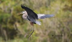 Gear down (Trevor-Baker) Tags: bird nature wildlife outdoor greatblueheron trevorbaker ngc