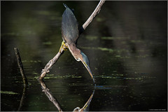 Green Heron's Catch (Chris Lue Shing) Tags: nikond7100 tamronsp150600mmf563divcusd bird aurora newmarket nokiidaatrail mckenziemarsh tree summer nature ontario canada greenheron action catch fish food feeding water chrislueshing