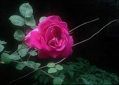(Photosintheattic (Devy)) Tags: rose flower plant flora dew morningdew flickr
