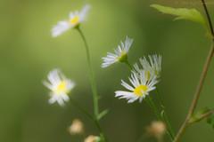 Wispy Wildflowers (Explored) (soupie1441) Tags: ontario canada nikon d7200 wispy wildflower white green delicate dof 20005000mm mikkor