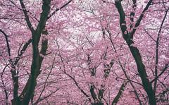 Kyoto Hanami (debroyo) Tags: kyoto cherryblossoms trees flowers hanami japan