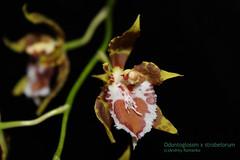 Odontoglossum x strobelorum 6163 (A. Romanko) Tags: odontoglossum hennesii strobelorum