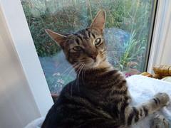 Mara ! (Mara 1) Tags: tabby stripes kitten black grey coat fur face eyes ears whiskers
