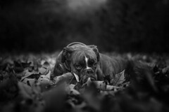 and the leaves came tumbling down (Tams Szarka) Tags: dog pet animal puppy outdoor nature forest boxerdog blackandwhite leaves