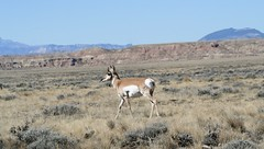 Nonchalant (A Wild Western Heart) Tags: pronghorn wyoming prairie wildwest