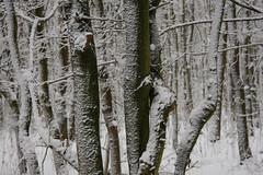 ckuchem-1631 (christine_kuchem) Tags: baumrinde buche bume eiche eis frost hainbuche natur pfad pflanzen ruhe samen spuren stille struktur wald weg wildpflanzen winter einsam kalt schnee ste
