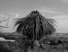 Diferente (Maribeljukebox) Tags: parquenatural lagunas lamata torrevieja naturaleza nature flamencos flamingos palmtree palms different diferente palmera