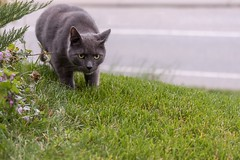 Watch Out! (mightymuffinful) Tags: stalking cat gato animal katt nature chat
