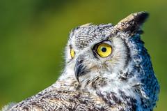 eagle owl (cb.photography) Tags: owl eule tierpark niederfischbach nature natur nikon auge eye dof animal tier vogel bird siegen nrw hessen rheinlandpfalz uhu kanadauhu canada eagleowl
