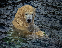 Eisbr (d_kaczmarek) Tags: eisbr outdoor zoo hannover niedersachsen water cold autumn animal icebear swim