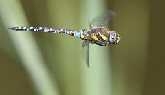Just cruisin (Jacko 999) Tags: lseries 100400mm insect hunter beauty beautiful flying inflight frozen macro 5dsr canon roberteede graceful gracefully dragonflies dragonfly dragon fly