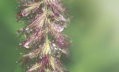 Ecstatic Motion (charhedman - off for a few days) Tags: raindrops macro grass red rainy water green bokeh rumi