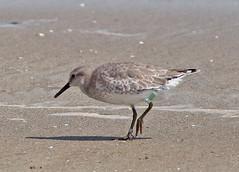 Red Knots (1krispy1) Tags: sandpipers knots redknot texasbirds