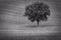 Lone Tree (Pentax_Phil) Tags: lightbox 52project2016 lonetree blackandwhite tree field