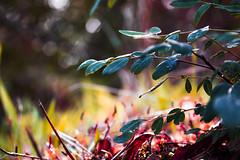 #plant #closeup #macro #sunshine #nature #bokeh #colourful #forest #leaves #autumn (dario0806) Tags: sunshine autumn nature closeup colourful plant leaves forest bokeh macro