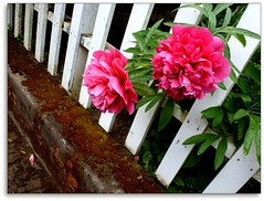 Two pretty pink peonies playing peek-a-boo (ohkayeor) Tags: pink 6ws peekaboo peonies ribbet odc1 fencefriday