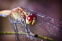 Red Dragonfly (Edi Eco) Tags: pink red macro nature up fauna canon bug insect wings eyes close dragonfly natureza tubes wing 100mm libelula inseto 7d extension asas sojosdoscampos kenko univap graveto 68mm urbanova