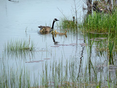 Goslings (one.juniper) Tags: park ontario canada beach nature water sunshine weekend wildlife may goslings naturepreserve lakehuron provincialpark daytrip wetland portelgin saugeenshores victoriaday longweekend macgregorpoint brucecounty staycation