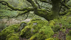 Ty Canol (Keartona) Tags: wood tree green nature wales moss oak ancient rocks reserve ty pembrokeshire mossy atmospheric canol