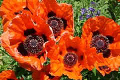 Mohn (Vasquezz) Tags: plant blossom pflanze blume blüte autofocus mohn cornpoppy klatschmohn coth supershot cornrose fantasticnature awesomeblossoms coth5 5wonderwall sunrays5