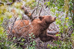 Cinnamon Black Bear - Grand Tetons (Colleen Easley) Tags: grandtetons blackbear