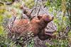 Cinnamon Black Bear - Grand Tetons (Colleen Easley) Tags: grandtetons blackbear