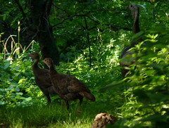 Wild Turkey with poults (Dendroica cerulea) Tags: summer bird forest turkey newjersey nj aves highlandpark wildturkey meleagrisgallopavo phasianidae middlesexcounty galliformes meleagridinae highlandparkmeadows