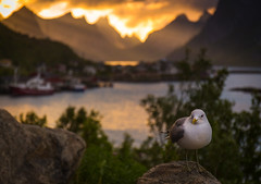 Seagull on Lofoten (andreassofus) Tags: lofoten reine norway mountains sunset midnightsun water boats travel travelphotography canon summer summertime seagull bird