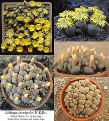 Lithops terricolor (collage) (Succulents Love by Pasquale Ruocco (Stabiae)) Tags: lithops terricolor collage southafrica stabiae succulentslove succulents succulente sassifioriti succulent succulenta succulentas pasqualeruocco piantegrasse piantagrassa plants plantesgrasses aizoaceae mesembs mesembryanthema mesembryanthemum mesembryanthemaceae mimicry mimetismo cactusco forumcactusco