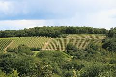 ckuchem-1392 (christine_kuchem) Tags: ahrtal anbau anbaugebiet eifel felsen rotweinwanderweg schiefer schieferfelsen sommer weinanbau weinberg weintraubenanbau weintrauben