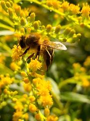 Just doing my job (Dadi Gylfason) Tags: bees