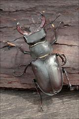 Lucanus-cervus_1 (amadej2008) Tags: taxonomy:binomial=lucanuscervus stagbeetle hirschkfer roga kleman lucanuscervus stag beetle rogai klemani lucanus cervus