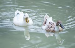Juntos hasta el final (afbc07) Tags: agua patos juntos ondas love swim mirror