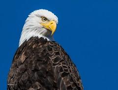 Eagle Eye (T0nyJ0yce) Tags: wild baldeagle haliaeetusleucocephalus raptor birdofprey birds majestic regal animalsinthewild wildlife americanbaldeagle urbaneagle westcoast eagle pnw explore