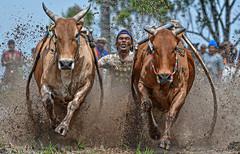 s Jul30_PJ_DSC_5035 (Andrew JK Tan) Tags: pacujawi tanahdatar sumatra cows racing race splashes mud indonesia