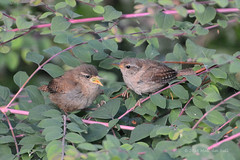 Going Down - Wren (13) (Malcolm Bull) Tags: include wren chick feeding walton hall 20160804wren0013edited1web